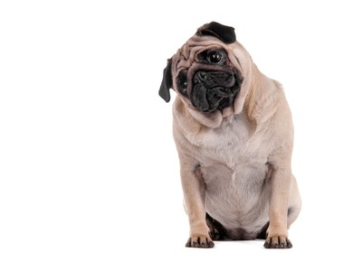 太っている犬