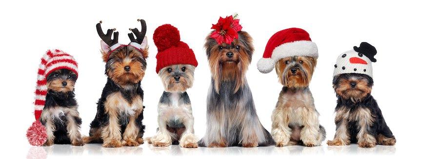 クリスマスのコスチュームを着た犬たち
