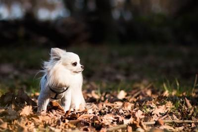 枯れ葉の上に立って横を見るチワワ