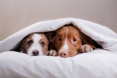 お布団に隠れている二頭の犬