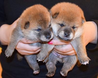 二匹の日本犬の子犬