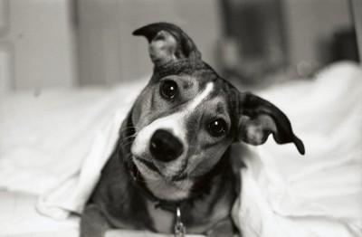 ベッドで首をかしげる犬