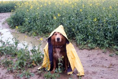 雨の中散歩する犬