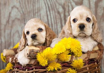 カゴの中に入ったお花とアメリカンコッカースパニエルの幼犬