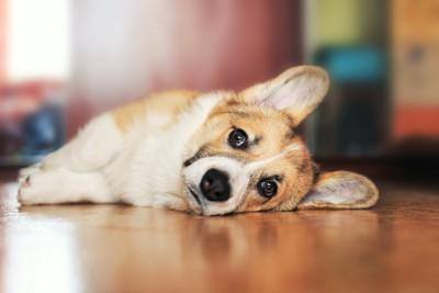 床に横になってこちらを見つめる犬