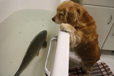 泳ぐ鯉を覗き込む犬