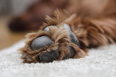 犬の足とカーペット