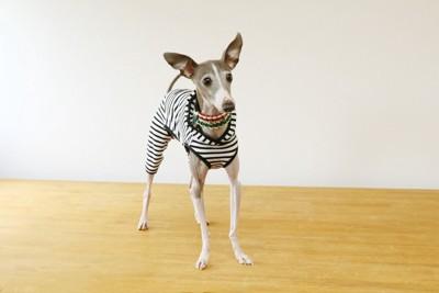 犬服を着た犬