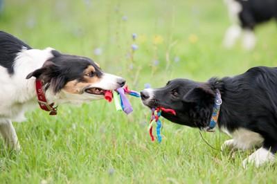 ロープを引っ張りあって遊ぶ犬