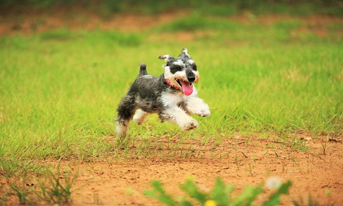草原を走る ミニチュアシュナウザー