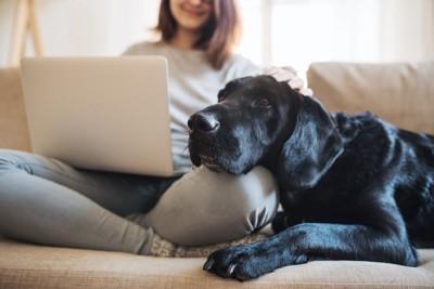 膝に顎を載せる犬