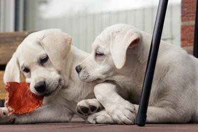 2頭の白い犬