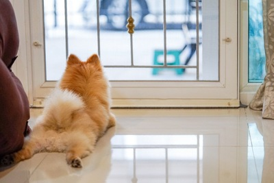 玄関で飼い主を待つポメラニアン