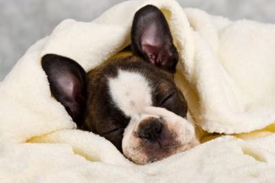 布団にくるまって寝るボストンテリア