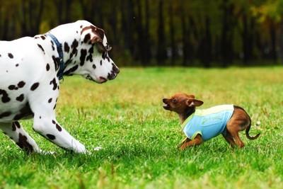 大きな犬に吠えかかる小さな犬