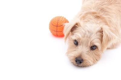 ボールのよこで上目遣いの犬