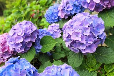 開花しているアジサイ