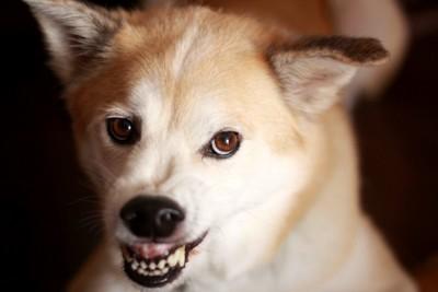 歯をむき出して警戒する犬