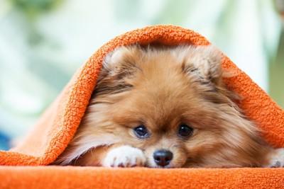 毛布にくるまるポメラニアン