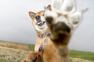 こちらにハイタッチをする柴犬