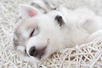 夢を見るシベリアンハスキーの子犬