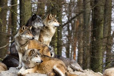 群れで生活しているオオカミ