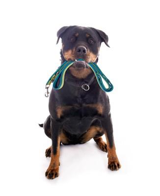 リードを咥えて散歩を催促する犬