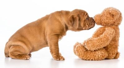 熊の人形の匂いを嗅ぐ犬