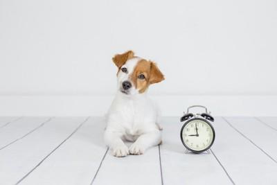目覚まし時計の隣で首を傾げる犬