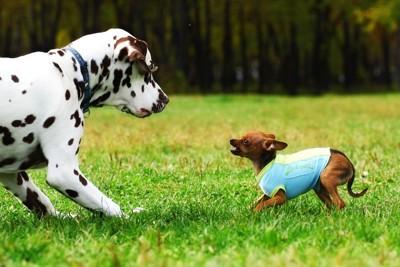 大型犬を威嚇する小型犬