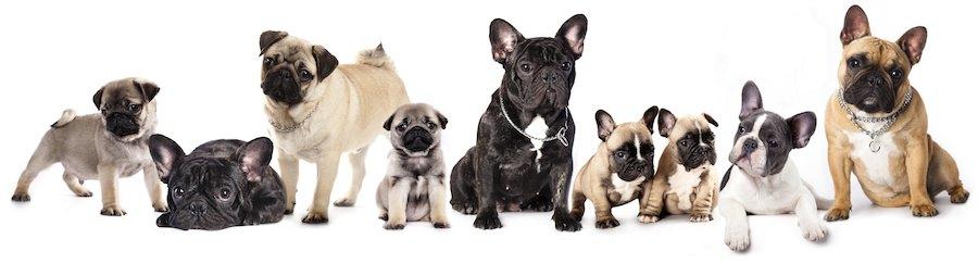 たくさんの短頭種の犬たち