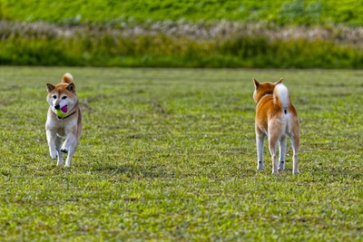 野原にいる2頭の柴犬