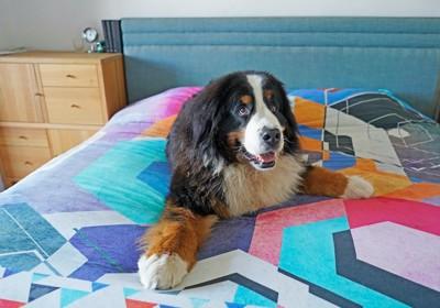 ベッドの上で寛ぐバーニーズ