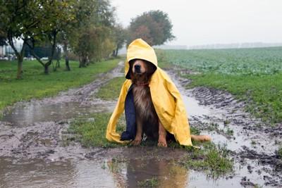 水たまりの近くでレインコートを着ている犬