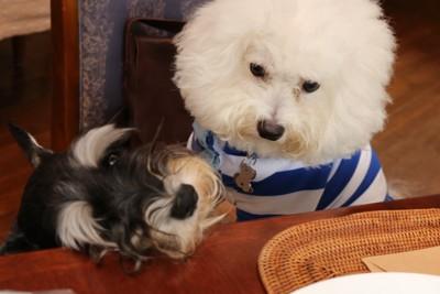 犬2頭がテーブルの上を狙っている