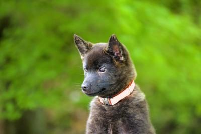 つぶらな瞳の黒い子犬の甲斐犬