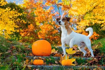 かぼちゃと犬と紅葉