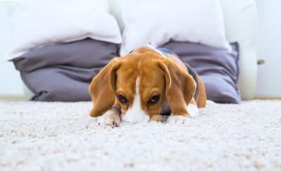 カーペットに鼻をうずめる犬