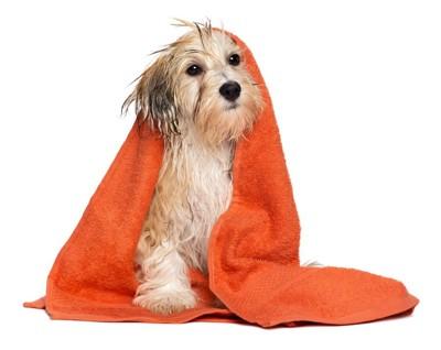 オレンジ色のバスタオルに包まる犬