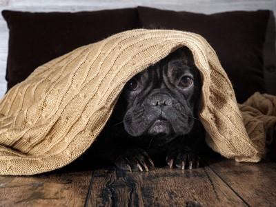 毛布をかぶったフレンチブル
