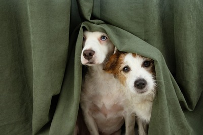 カーテンに隠れる2匹の犬