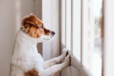 窓の外を見るジャックラッセルテリア