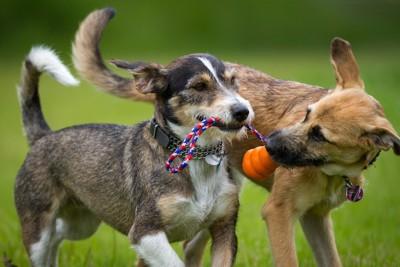 一緒のおもちゃで遊ぶ二匹の犬