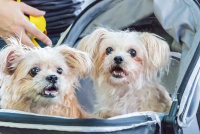 カートに乗る2匹の犬