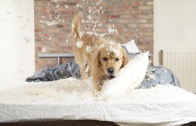 ベッドをボロボロにする犬