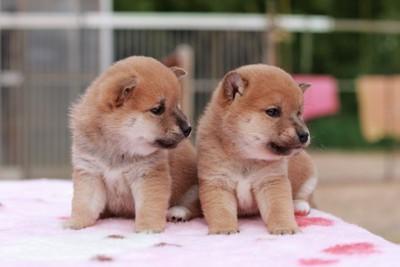 二匹の豆柴の子犬