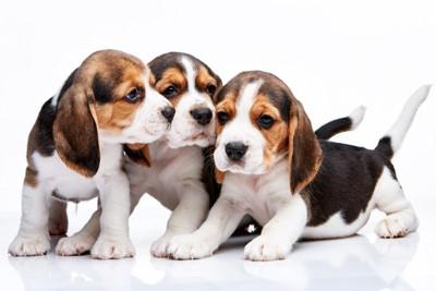 3匹のビーグルの子犬