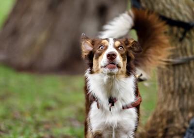 目を見開く白茶の犬