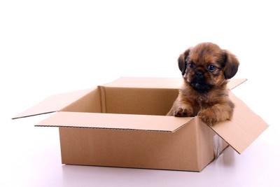 段ボール箱の中に入る子犬