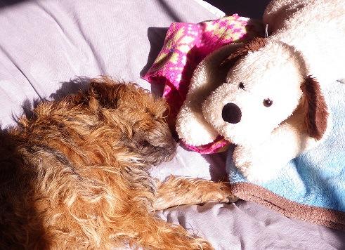 おもちゃと寝る犬